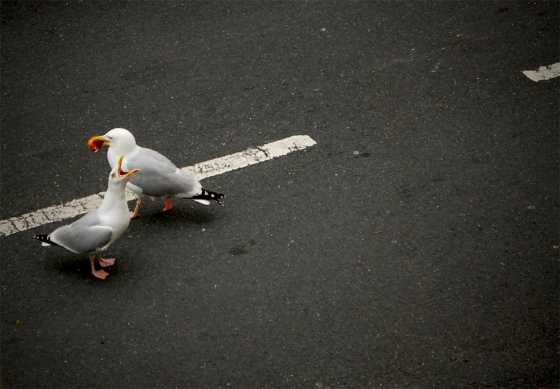 seagulls_brighton_birds