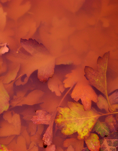 autumn_leaves_puddle_submerged