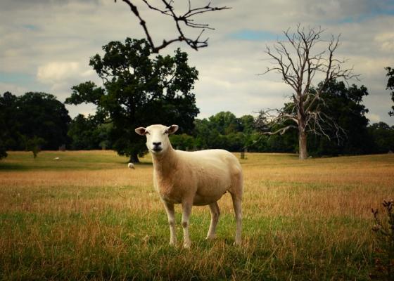 sheep_stare_corsham